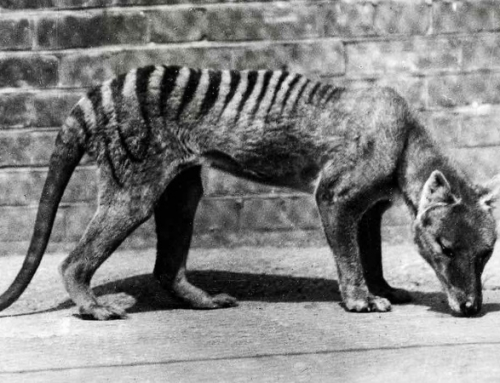 El Tigre de Tasmania verdadero o falso